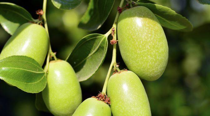 Ingredientes – jojoba, simmondsia chinensis